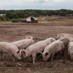 blythburgh-pork-regula-ysewijn-2079