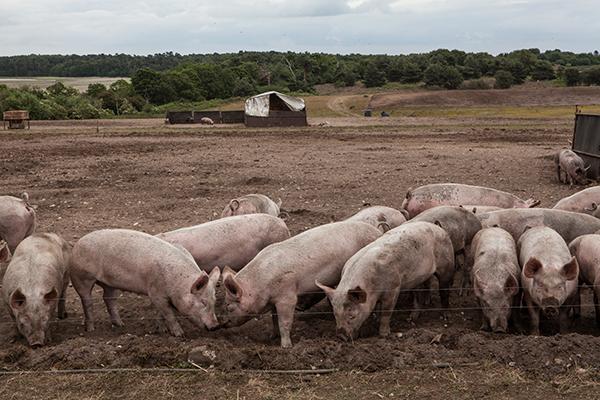 Free Range Pig Farming vs Intensive Farming
